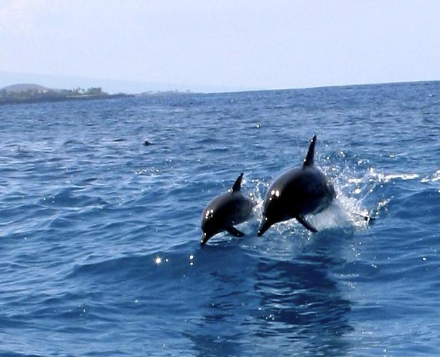 Delfiner leker i det vilda. Fotot togs på Hawaii i år, i samband med att vi simmade med delfinerna.